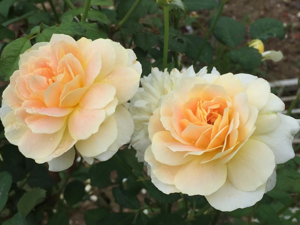 Ban công nhỏ xinh thơm ngát hoa hồng của của ông bố đảm ở Yên Bái - 10