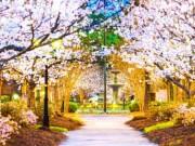vùng đất có hoa anh đào đẹp nhất thế giới