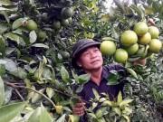 Làm giàu ở nông thôn: Thu ngót 1 tỷ/năm từ 1ha cam VietGAP