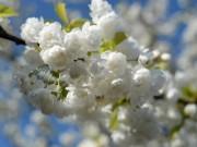 Yêu kiều những đóa hoa anh đào