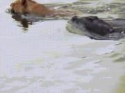 Thế giới - Cá sấu khổng lồ phục kích, tấn công sư tử kinh hồn giữa sông