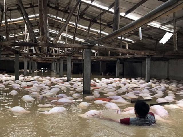 Xót xa nhìn ngàn con lợn chết trắng chuồng trong mưa lụt