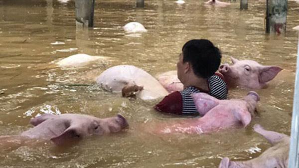 Xót xa nhìn ngàn con lợn chết trắng chuồng trong mưa lụt - 2