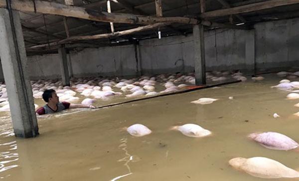 Xót xa nhìn ngàn con lợn chết trắng chuồng trong mưa lụt - 4