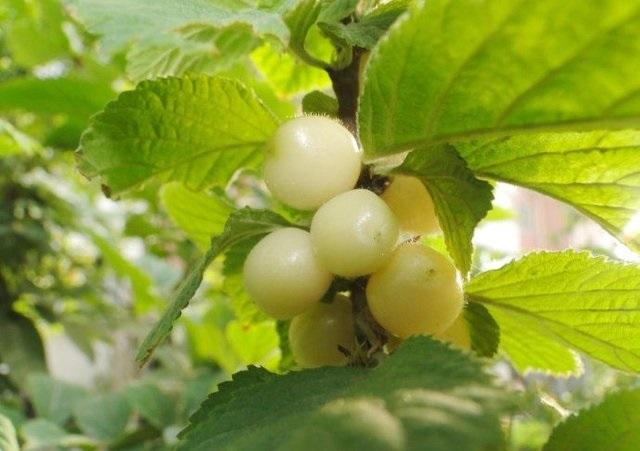 Loại cherry lạ giống hệt ngọc trai, giá chỉ hơn 200 nghìn/kg - 3