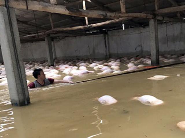 Thông tin mới vụ 4.000 con lợn chết đuối nổi trắng chuồng do mưa lũ