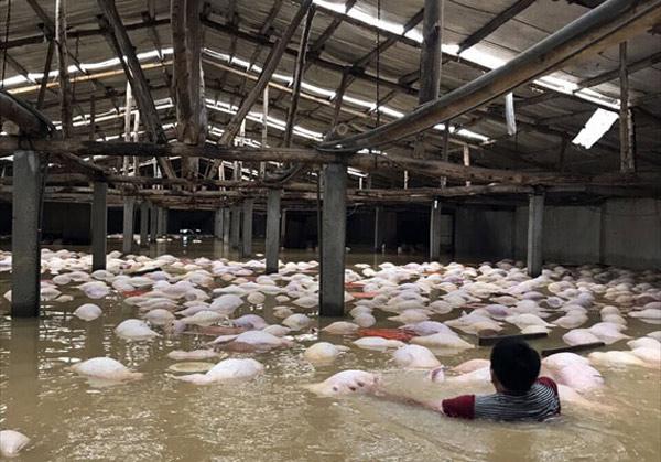 Thông tin mới vụ 4.000 con lợn chết đuối nổi trắng chuồng do mưa lũ - 2