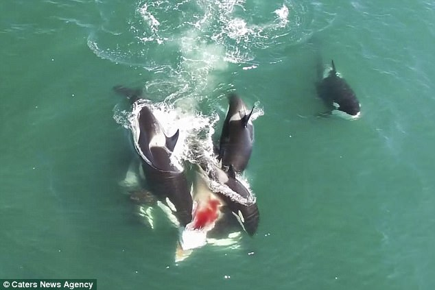 Đàn cá voi sát thủ truy sát, cắn ngập răng cá voi khổng lồ - 1