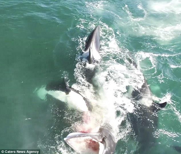 Đàn cá voi sát thủ truy sát, cắn ngập răng cá voi khổng lồ - 2