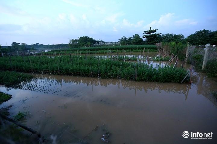 """Người trồng quất """"méo mặt"""" vì nước sông Hồng dâng cao - 11"""