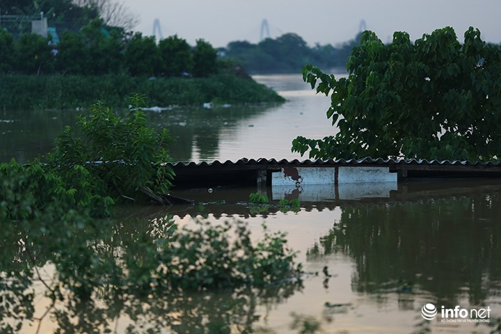 """Người trồng quất """"méo mặt"""" vì nước sông Hồng dâng cao - 2"""