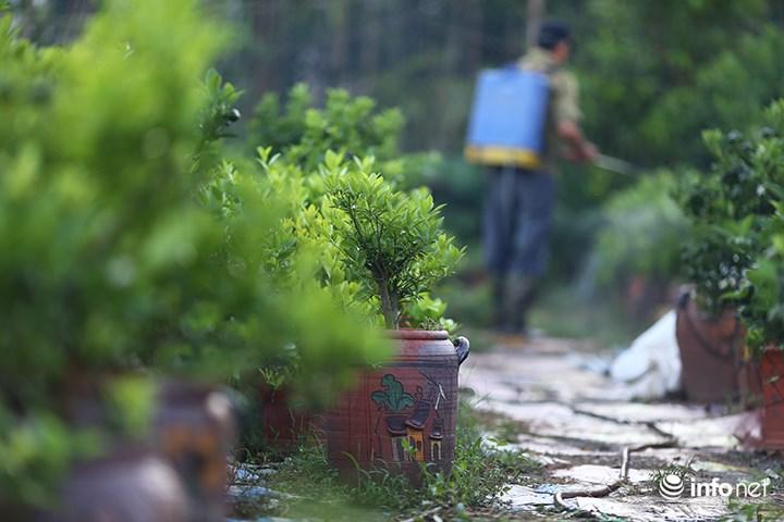 """Người trồng quất """"méo mặt"""" vì nước sông Hồng dâng cao - 6"""