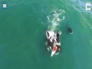 Thế giới - Đàn cá voi sát thủ truy sát, cắn ngập răng cá voi khổng lồ