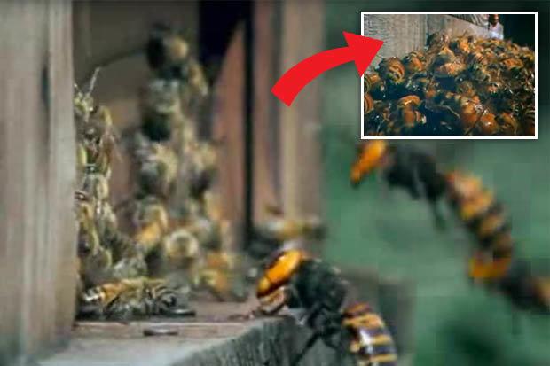 Video: 30 ong bắp cày thảm sát 3 vạn con ong trong 3 giờ - 1