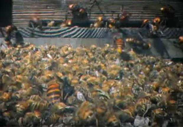 Video: 30 ong bắp cày thảm sát 3 vạn con ong trong 3 giờ - 2