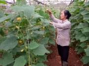Làm giàu ở nông thôn: Bí quyết trồng 1 ha rau, lãi nửa tỷ đồng/năm