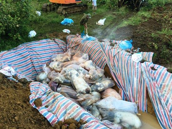 Chùm ảnh: Tiêu hủy gần 6.000 con lợn chết trong lũ tại Thanh Hoá - 2