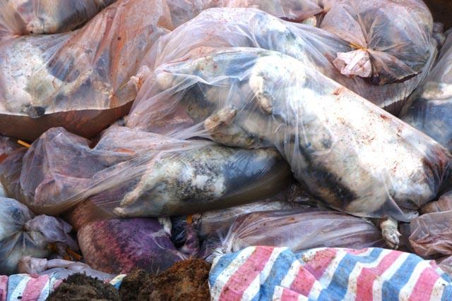 Chùm ảnh: Tiêu hủy gần 6.000 con lợn chết trong lũ tại Thanh Hoá - 5