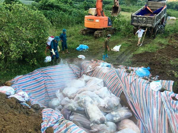 Chùm ảnh: Tiêu hủy gần 6.000 con lợn chết trong lũ tại Thanh Hoá - 9