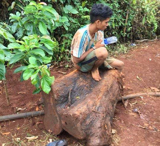 Đột nhập khu bảo tồn, cưa hạ cây thủy tùng 500 tuổi - 2