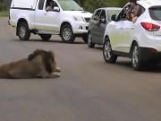 Sư tử dữ ngay trước mặt, dám mở cửa ô tô nhoài ra chụp ảnh