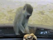 Khỉ con điên tiết vì không lấy được bánh trong ô tô