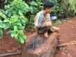 Đột nhập khu bảo tồn, cưa hạ cây thủy tùng 500 tuổi