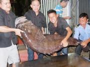 """""""Thủy quái"""" nặng hơn 1 tạ được đưa từ vịnh Thái Lan về Hà Nội"""