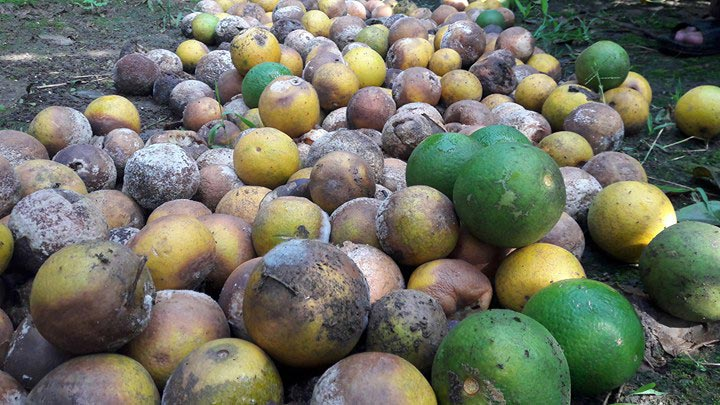Bất lực nhìn cả nghìn quả cam Vinh rụng lả tả, thối nhũn vì mưa lũ - 1