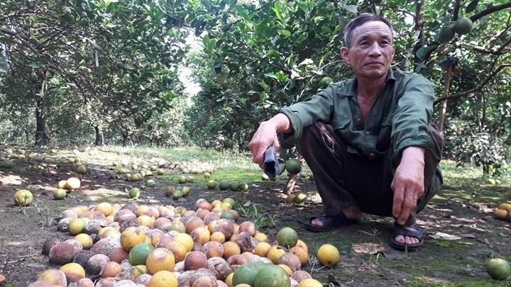 Bất lực nhìn cả nghìn quả cam Vinh rụng lả tả, thối nhũn vì mưa lũ - 2