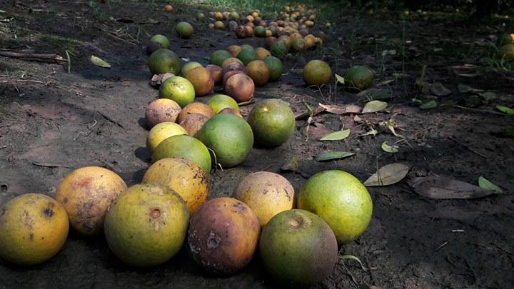 Bất lực nhìn cả nghìn quả cam Vinh rụng lả tả, thối nhũn vì mưa lũ - 3