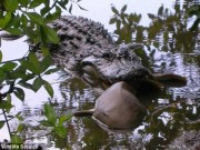 Thế giới - Ép 500 cá sấu nôn, giật mình khi thấy loài vật bị ăn thịt