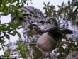 Ép 500 cá sấu nôn, giật mình khi thấy loài vật bị ăn thịt