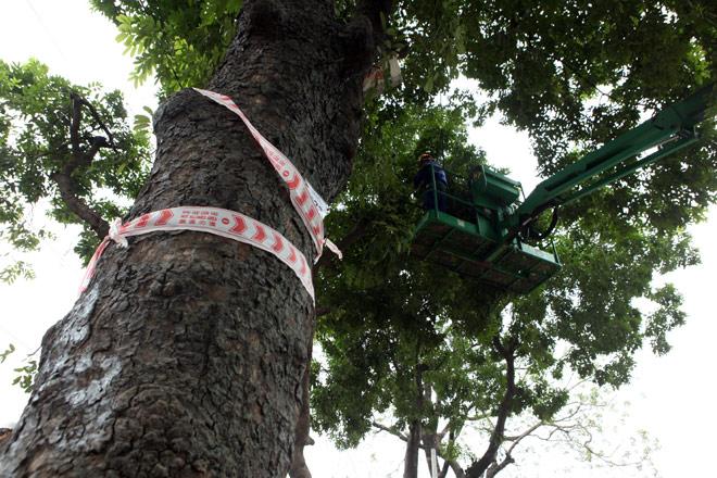 """HN: """"Chia tay"""" gần 1.300 cây xanh đường Phạm Văn Đồng - 6"""