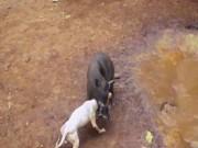 Video: Cảnh chó đại chiến lợn rừng đến chết ở Indonesia