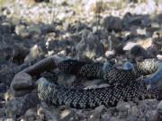 Rợn người cảnh rắn hổ mang nuốt gọn rắn đuôi chuông