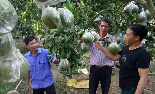 Làm giàu ở nông thôn: Trồng bưởi Diễn, mỗi cây thu 3 triệu đồng/vụ - 1