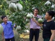 Làm giàu ở nông thôn: Trồng bưởi Diễn, mỗi cây thu 3 triệu đồng/vụ