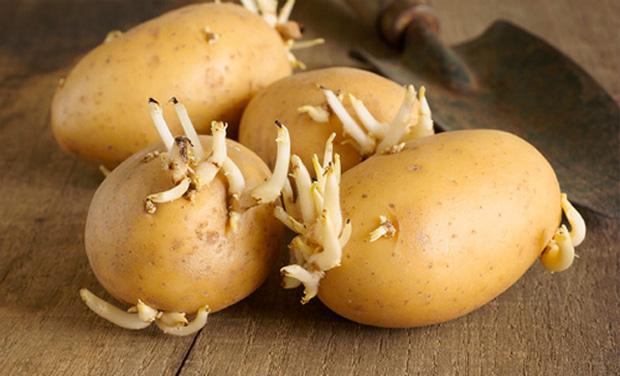 Chớ dại ăn những thực phẩm này khi đã mọc mầm - 2