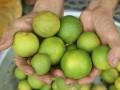 Nghệ An: Giá chanh rớt thê thảm, 100.000 đồng mua được cả tạ chanh