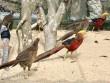 """Ngắm trang trại chim, gà """"quý tộc"""" trị giá tiền tỷ"""