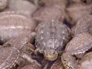 Tài chính - Bất động sản - 9x vùng quê nghèo kiếm 68 tỷ/năm nhờ rùa
