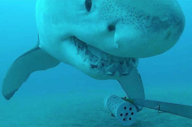 Thả camera xuống biển sâu, không ngờ với hành động cá mập trắng - 1