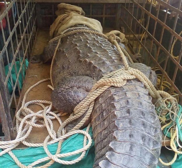 Cá sấu khổng lồ lẻn vào nhà, cả làng Ấn Độ cãi nhau tìm cách xử - 2