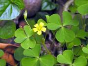 Sức khỏe đời sống - 8 loại cây cỏ trong vườn nhà trị viêm họng