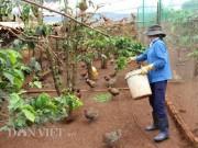 LẠ MÀ HAY: Rào vườn cà phê nuôi bạt ngàn chim trĩ