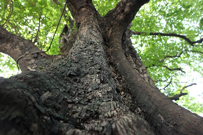 Lạ kỳ cây thị nghìn tuổi, chỉ có 1 quả mỗi mùa ở Hà Nội - 5