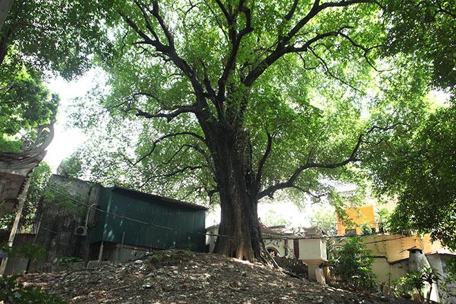 Lạ kỳ cây thị nghìn tuổi, chỉ có 1 quả mỗi mùa ở Hà Nội - 1