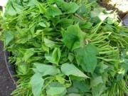 Món ngon chữa bệnh từ rau khoai lang -  Sâm nam  dễ kiếm