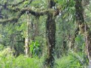Kỳ bí rừng chè cổ thụ nghìn năm tuổi trên đỉnh Khang Su Văn